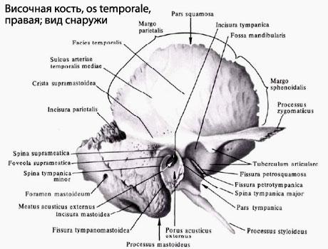 anatomia osului temporal